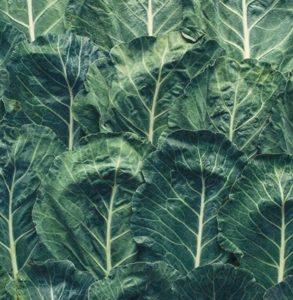 Listnati ohrovt, kralj zimske zelenjave