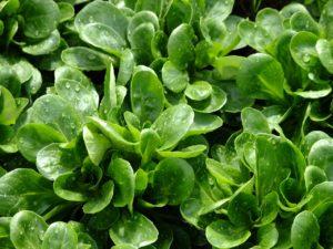 Domača ekološka zelenjava